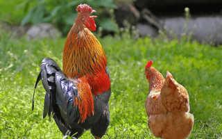 К чему снится петух и курица по сонникам