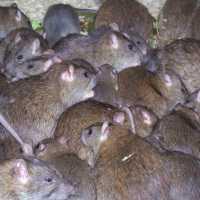 Сон, где снится много мышей: толкование по соннику Миллера, Ванги