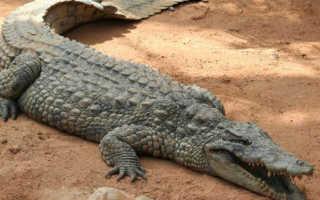 К чему снится маленький крокодильчик или большой крокодил