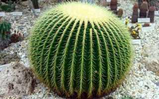 К чему снится цветущий или колючий кактус: трактовка сонников