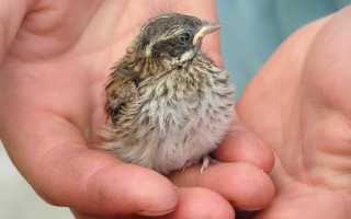 К чему снятся птенцы: увидеть птенчика во сне хороший знак