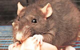 Во сне укусила крыса: толкование по различным сонникам