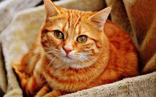 К чему снится рыжий кот: толкование разных сонников