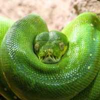 К чему снится зеленая змея: трактовка сонников