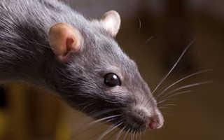 Толкования, к чему снится черная крыса по разным сонникам
