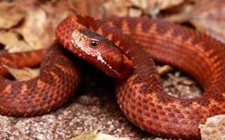 Толкование по сонникам, к чему снится красная змея мужчине или женщине