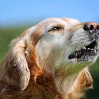 Сон, где снится лающая собака: толкование по сонникам