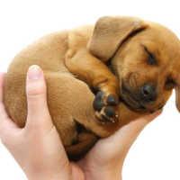 К чему снится щенок на руках по соннику