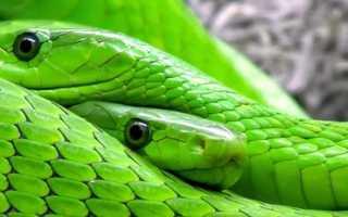 К чему снятся две змеи: толкование по популярным сонникам