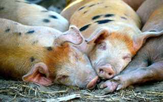 К чему снятся свиньи и поросята мужчинам и женщинам по разным сонникам