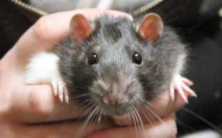 К чему снятся живые и мёртвые крысы во сне мужчине