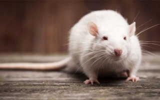К чему снятся крысы: основные толкования по сонникам