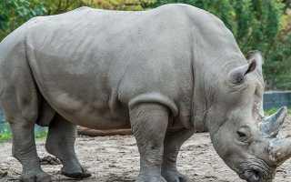 К чему снится носорог: во сне он гонится, спит, преследует