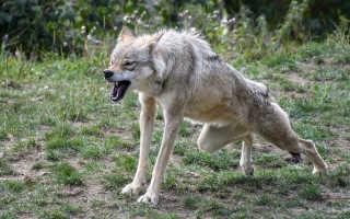 К чему снятся сны, в которых нападают волки: толкования сонников