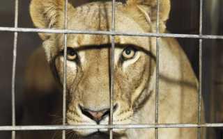 К чему снится львица: толкование сна для женщин и мужчин