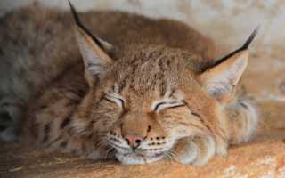 К чему снится маленькая или большая рысь: толкование по сонникам