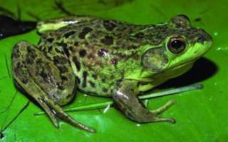 К чему снятся лягушки: толкования по сонникам