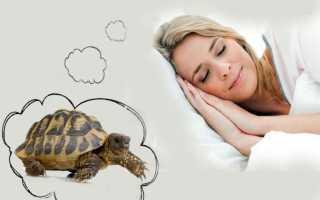 К чему снится живая черепаха в аквариуме: толкования по соннику