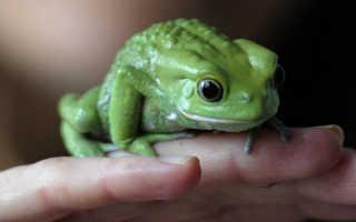 К чему может присниться жаба: толкование по разным сонникам