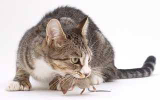 Особенности толкования по сонникам: кошка поймала мышь