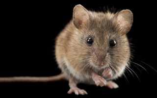 К чему снятся мыши: общие значения и подробные толкования