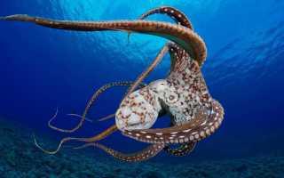 К чему снится большой осьминог под водой: толкования по сонникам