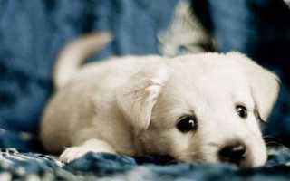 Что означает маленький белый щенок по соннику