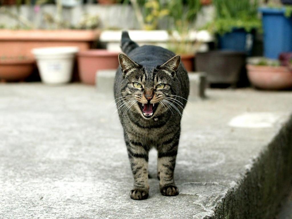 к чему снится агрессивный кот