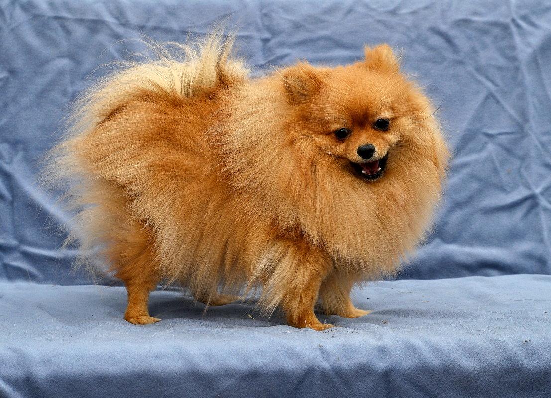 маленькая рыжая собака