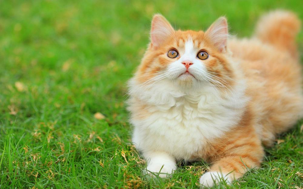 бело-рыжий кот